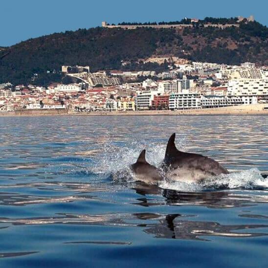 Delfine in der Bucht von Sesimbra