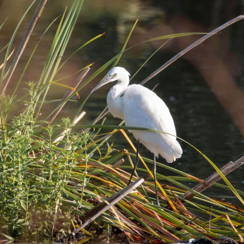 Vogelbeobachtung, z.B. Garça-branca ist eine seltene Vogelart in Lagoa de Albufeira